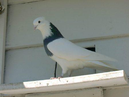 طيور الحمام بالصور (3)
