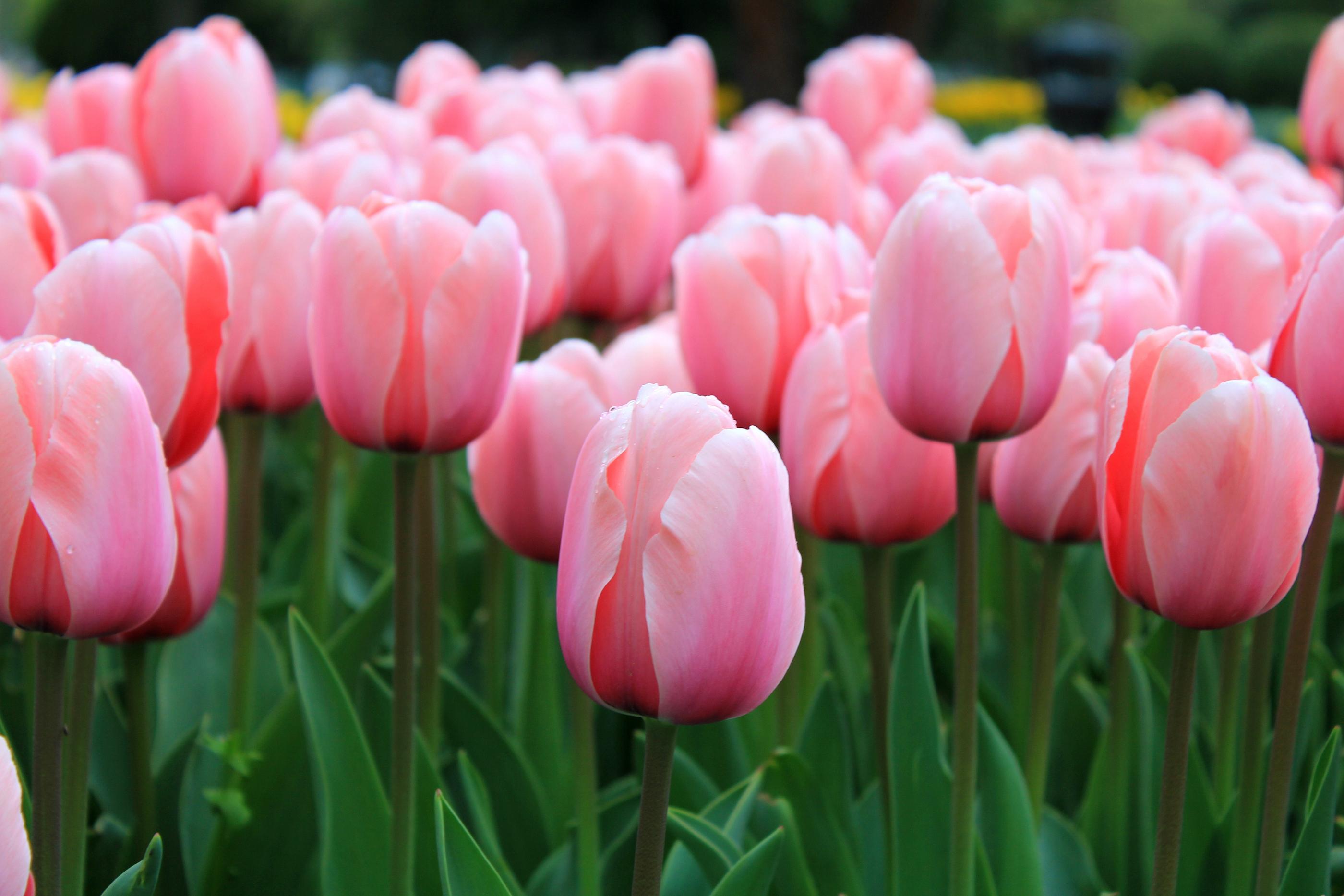 صور زهرة التوليب خلفيات ورمزيات وردة التوليب بالوانها