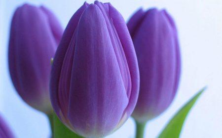 اشيك صور زهور البنفسج (1)