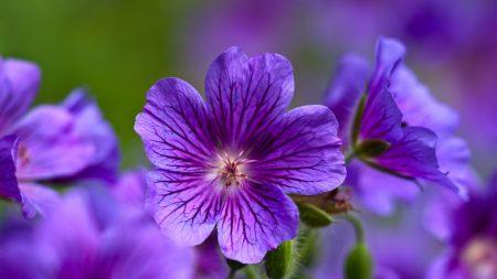 اشيك صور زهور البنفسج (2)