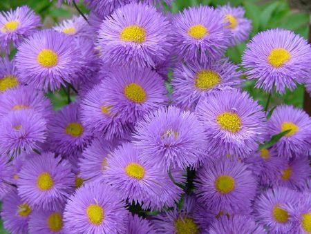 اشيك صور زهور البنفسج (3)