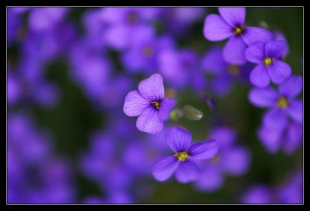 اشيك صور زهور البنفسج (4)