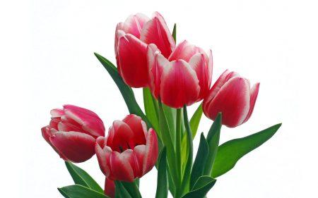 الوان زهرة التوليب المختلفة (1)