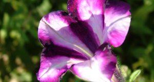 زهرة البنفسج رمزيات جميلة للزهور (1)