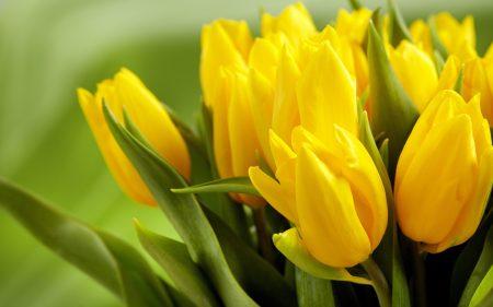 زهره التوليب اصفر (1)