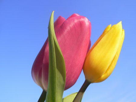 زهور التوليب  (2)