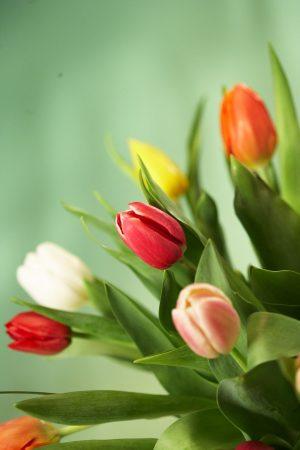 زهور التوليب  (3)