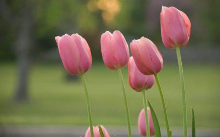 صور زهرة التوليب خلفيات ورمزيات وردة التوليب بالوانها (3)