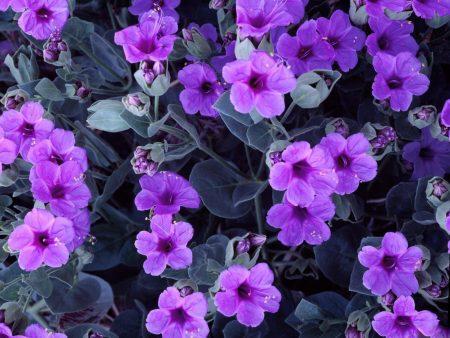 صور زهور البنفسج  (2)