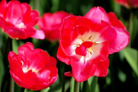 صور زهور التوليب (2)