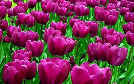 وردة التوليب  (1)