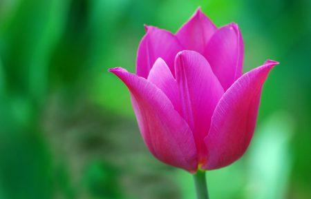 وردة التوليب (2)