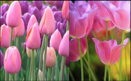 وردة التوليب (4)