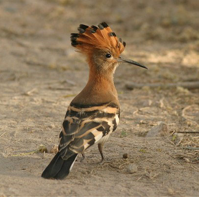 hoopoe-photos-1