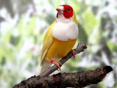 اجمل صور طائر الحسون (3)