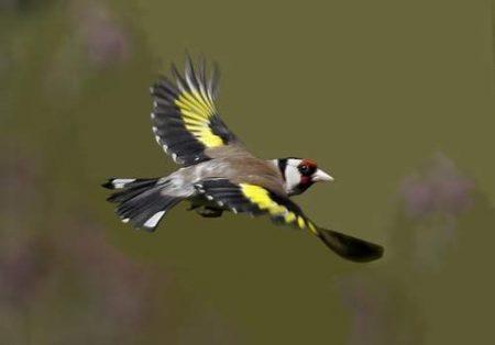 اجمل صور طائر الحسون (4)