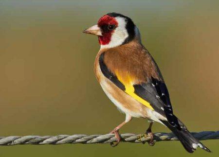 احلي واجمل صور لطائر الحسون (1)