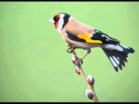 احلي واجمل صور لطائر الحسون (3)