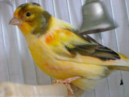 احلي واجمل طيور الكناري (1)