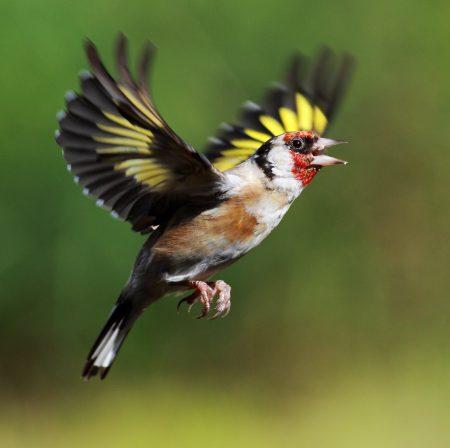 الوان طيور الحسون الجميلة (1)