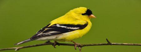 الوان طيور الحسون الجميلة (2)
