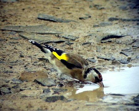 الوان طيور الحسون الجميلة (3)