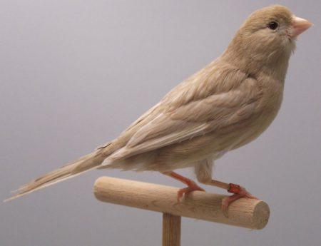 صور طائر الكناري (3)