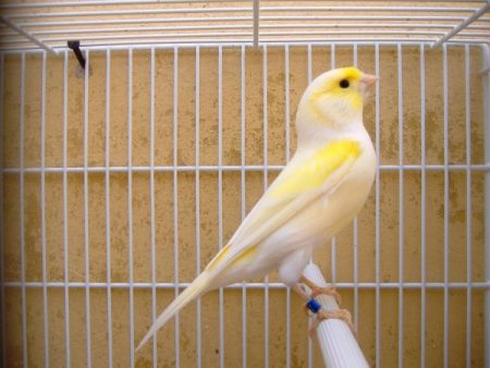 صور كناري اصفر (2)