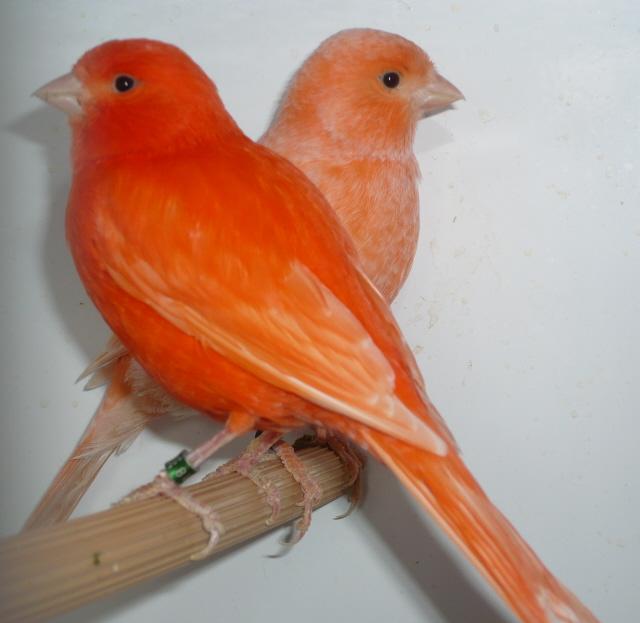 صور كناري برتقالي (1)