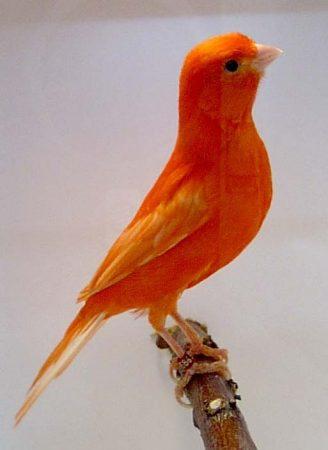 صور كناري برتقالي (3)