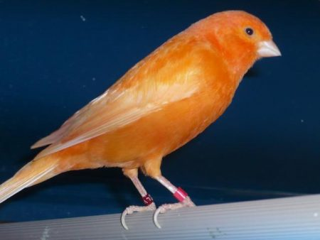 صور كناري برتقالي (4)