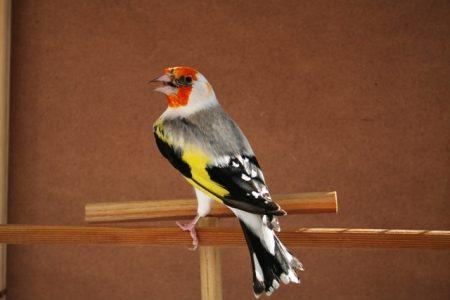 طائر الحسون في صور وخلفيات (3)