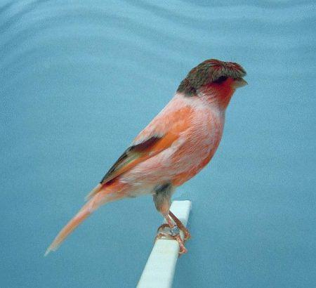 طيور كناري (1)