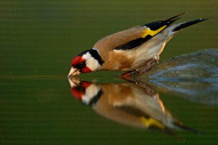 عصافير الحسون (1)