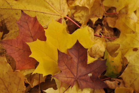 ورق شجر متساقط فصل الخريف بالصور (4)
