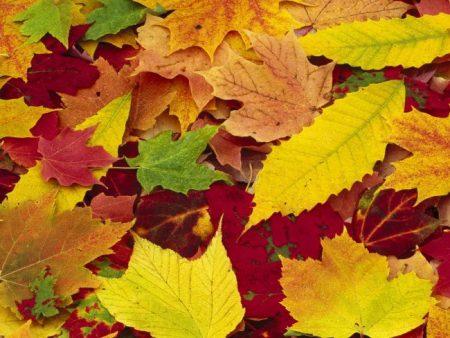 ورق شجر متساقط فصل الخريف بالصور (5)