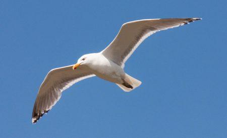خلفيات طائر النورس بجودة عالية (3)