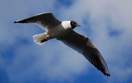 خلفيات طيور النورس (3)