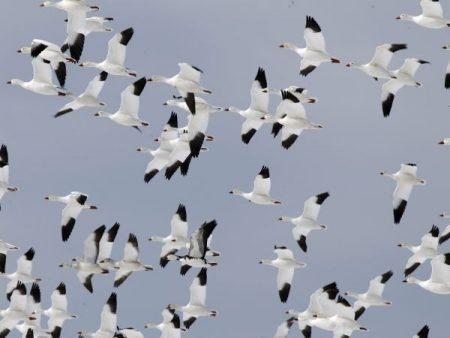 رمزيات طيور مهاجرة (1)