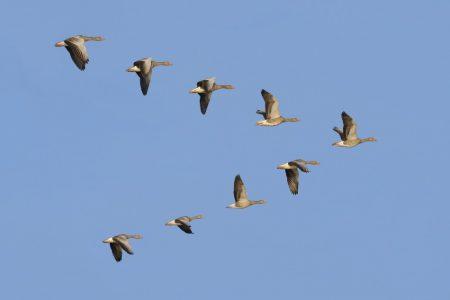 صور الطيور المهاجرة (4)