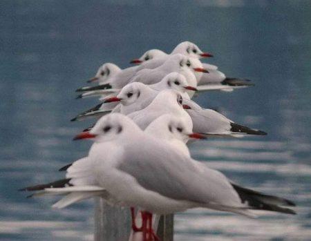 صور طائر النورس (3)