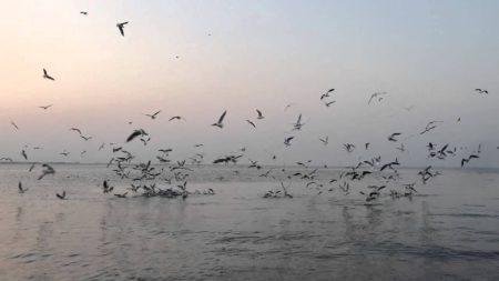 صور طير النورس (1)