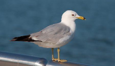 صور طير النورس (2)
