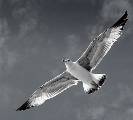صور طير النورس (4)