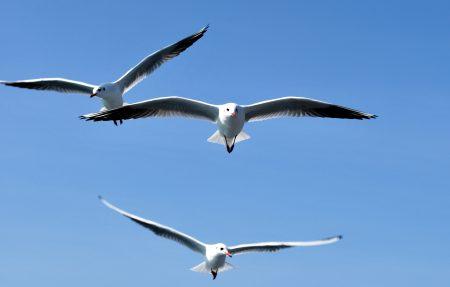 صور طيور النورس اجمل خلفيات طائر النورس HD (4)
