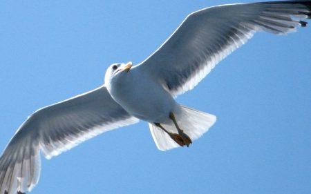 صور طيور النورس (1)