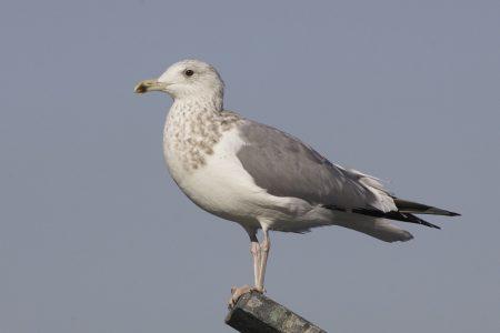 صور طيور النورس (2)