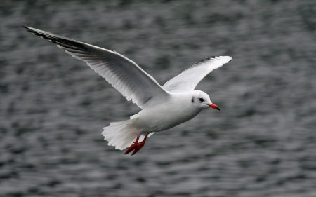 صور طيور النورس (3)