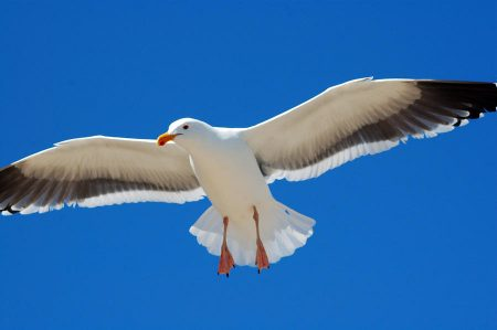 صور طيور النورس (4)