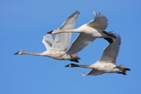 صور عن هجرة الطيور في سرب طيور مهاجرة روعة (2)